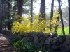 forsythia and stone wall - perfect combination