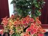 orange-hibiscus-end-of-september