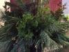 winter-container-white-pine