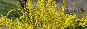 Forsythia x intermedia featured photo
