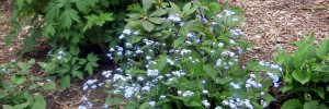 brunnera & dicentra featured image