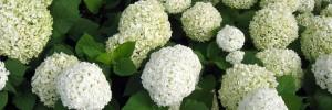 Hydrangea arborescens Annabelle 2
